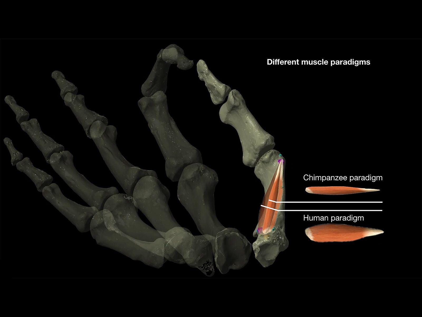 How Dexterous Thumbs May Have Helped Shape Evolution Two Million Years Ago