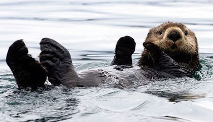 The Remarkable Return of Sea Otters to Glacier Bay
