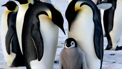 One of Antarctica's Largest Emperor Penguin Colonies Has Suffered Three Years of 'Catastrophic' Breeding Failures