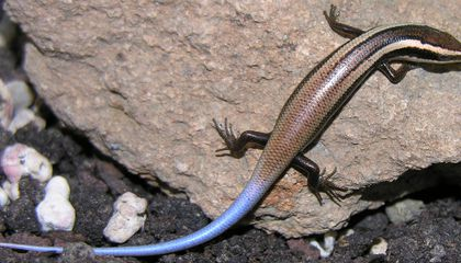 24 New Lizard Species Discovered, Half Close to Extinction
