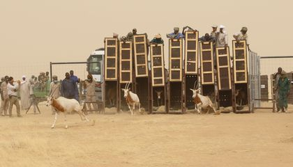 Second Group of the Once-Extinct African Oryx to Be Released Into the Wild