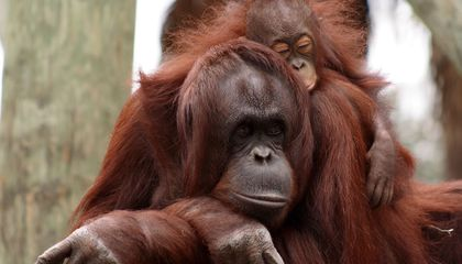Wild Orangutans Can Breastfeed for Over Eight Years