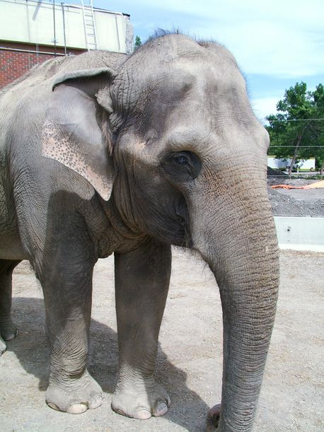 There are only around 30,000 to 50,000 Asian elephants, like Swarna, alive today.