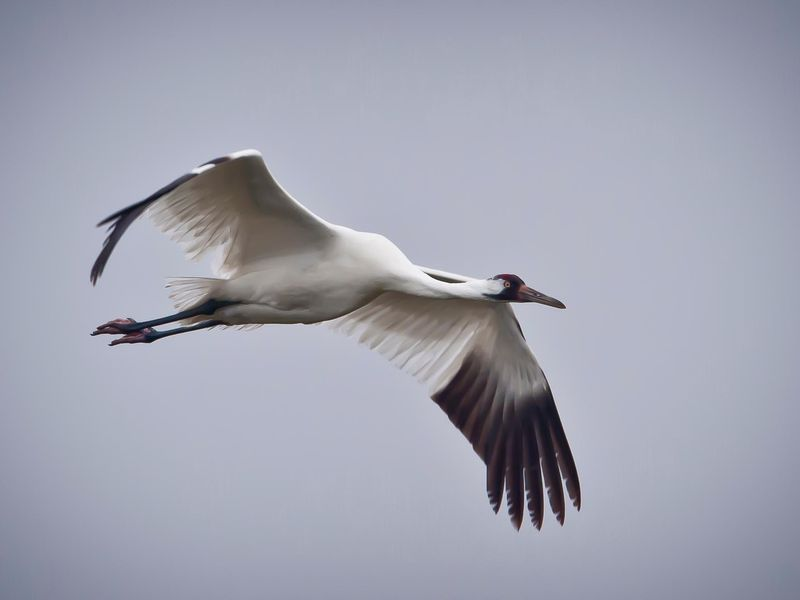 Whooping_Crane_in_flight_in_Texas (1).jpg