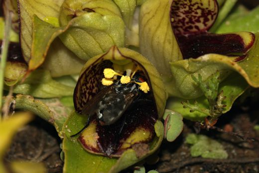 20110520102440Fly-pollinating-orchid.jpg