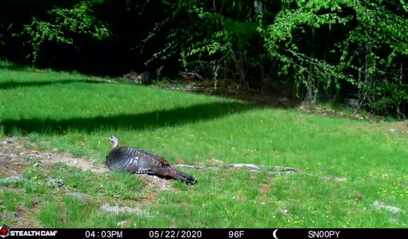 Preview thumbnail for video'Wild Turkey Dust Bathing