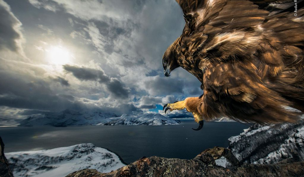 It took Audun Rikardsen three years of strategic planning and waiting to capture this image. With his camera fastened high in a tree with a motion sensor attached, he hid a short distance away and waited. And waited. Then, one day, a golden eagle grew used to the camera and began treating the branch as a look-out. In northern Norway, where the image was captured, golden eagles can be found on the coast, where they scavenge for prey ranging from fish to foxes.