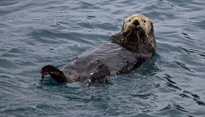 Four Incredible Facts About Sea Otters