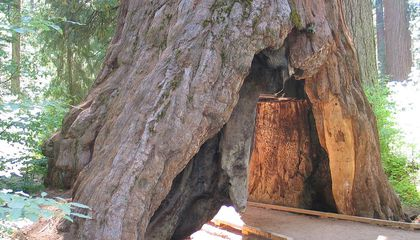 """One of California's Iconic """"Tunnel Trees"""" Has Fallen"""