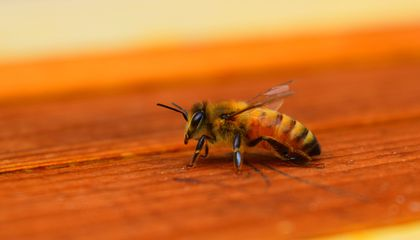 These Bees Fight Varroa Mites With Help From Special Engineered Bacteria