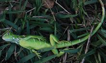 Florida's Weather Forecast? Cold, With a Chance of Iguanas
