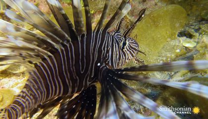 Lionfish Are a Plague. Can Training Sharks to Eat Them Work?