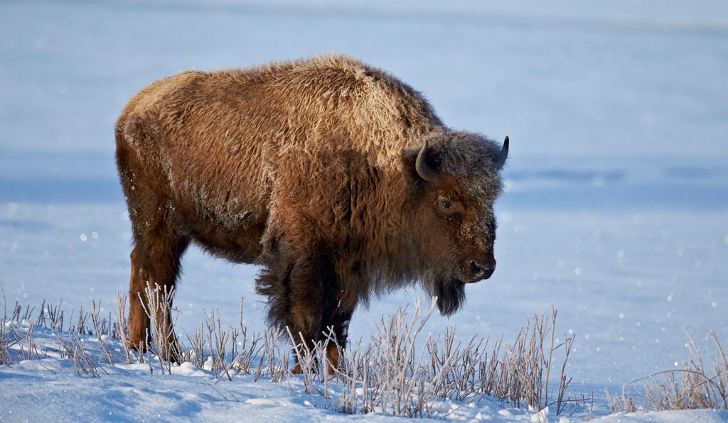 Weighing up to a ton, bison once roamed across much of the United States. Today this lumbering giant can be found predominately in the open plains of Yellowstone National Park in Wyoming.