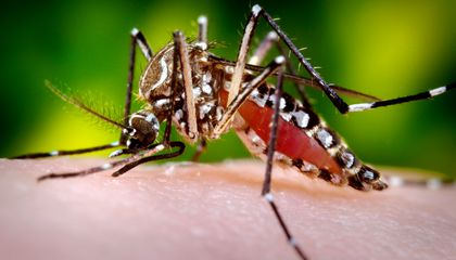Malaria, Zika and Dengue Could Meet Their Match in Mosquito-Borne Bacteria