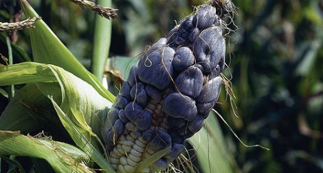 Huitlacoche, a black corn fungus, is an agricultural bane to some, but to others, it's a delicacy.