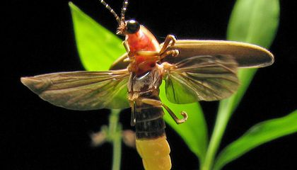 14 Fun Facts About Fireflies
