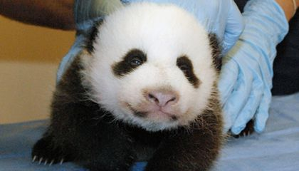 The Panda Cam is Back
