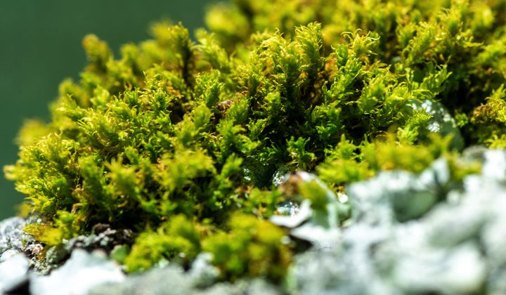 Bryophytes in the tropics are threatened due to lack of information and research. (Jorge Alemán, STRI)