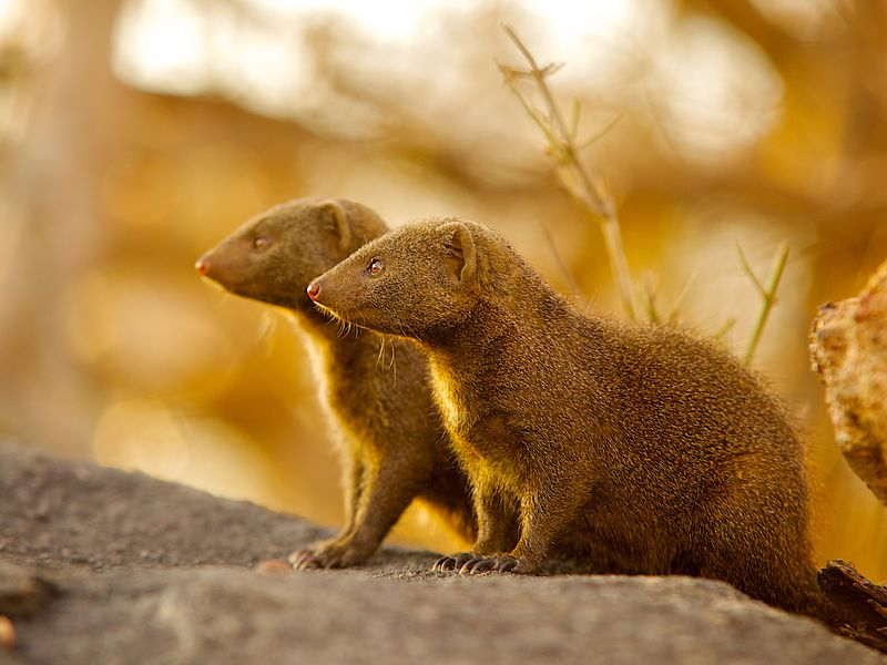 for immigrant mongooses it can take time to earn society s trust