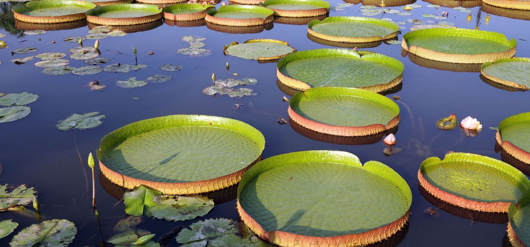 Spectacular giant water lilies, which can grow up to six feet in diameter