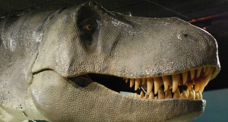 The head of Tyrannosaurus at the Las Vegas Natural History Museum.