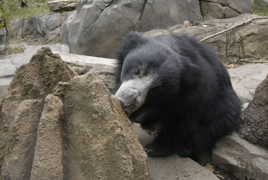 The sloth bear exhibit at the Smithsonian National Zoological Park has termite mounds that replicate how the bears feed in the wild.
