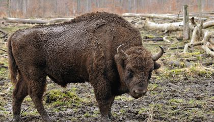 A Wild Bison Was Spotted in Germany for the First Time in Two Centuries. Then It Was Shot
