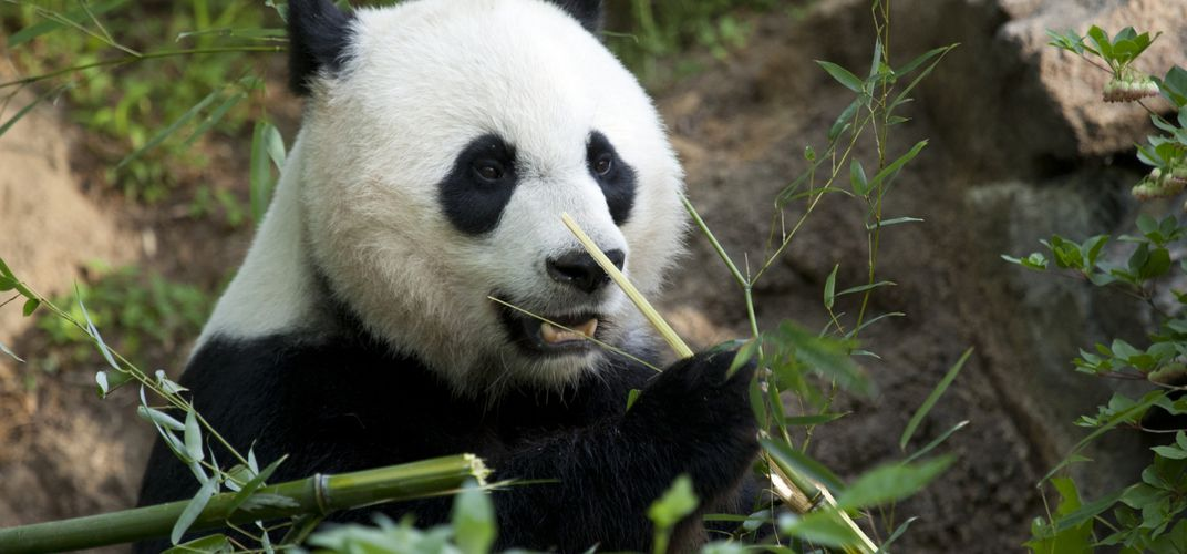 Caption: Looks Like Mei Xiang the Giant Panda is Pregnant