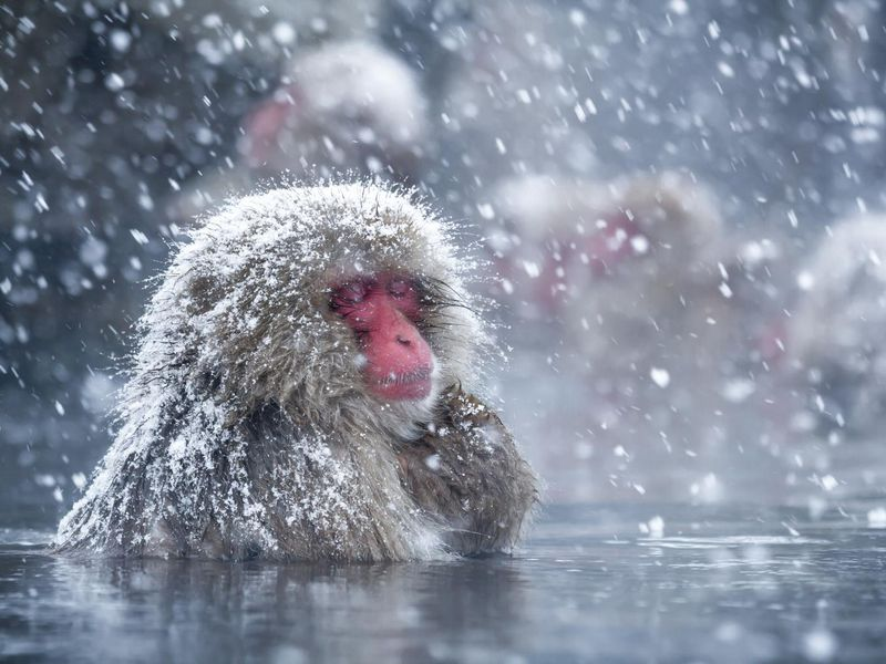 Chilling Out In Hot Springs May Help Japan S Snow Monkeys Reduce