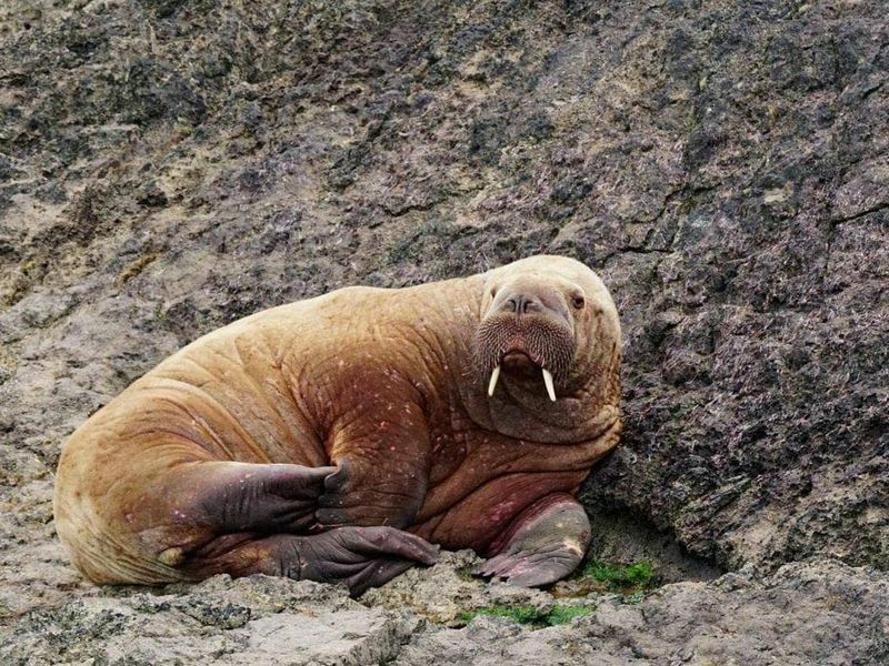 A walrus relaxes on a rocky shoreline in Wales