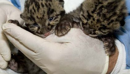Clouded Cubs Continued: They're Two Boys