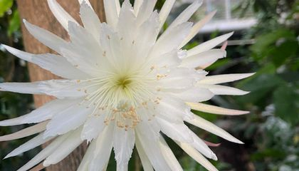 Watch First Time-Lapse Footage of a Rare Moonflower Cactus Blossoming