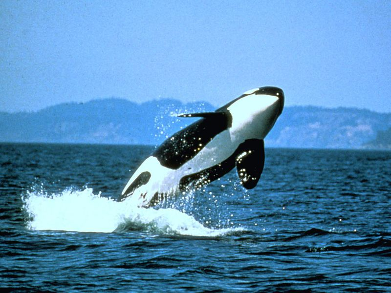 pacific northwest orca population hits 30 year low smart news