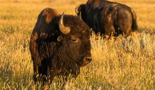 Bison, North America's largest herbivore are adapted to the Northern Great Plains.