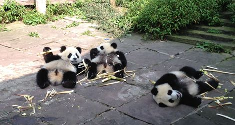 One-year-old cubs play at the nursery in Bifengxia, China