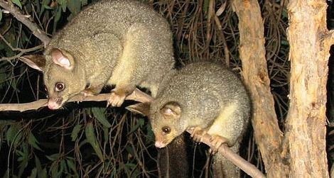 Brushtailed possums, shown here in their native Australia, are among the most destructive pests in New Zealand.