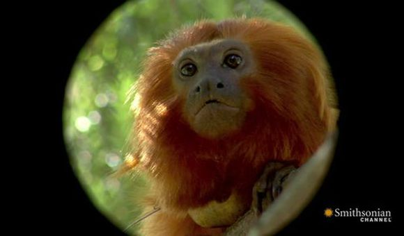 Preview thumbnail for video'Meet the Golden Lion Tamarins of the National Zoo!