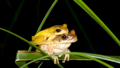 The Color-Changing Marvel of Tree Frogs Looking for Love