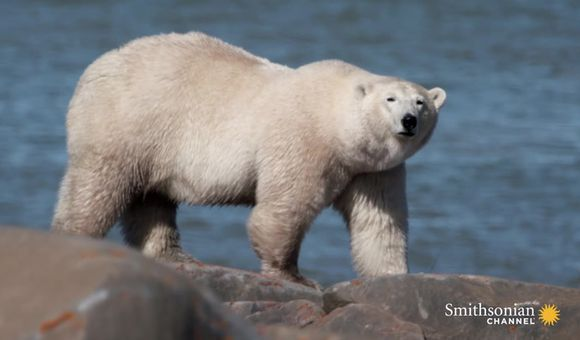 Preview thumbnail for video'Female Polar Bears Need an Extra 220 Lbs. for Pregnancy