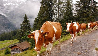 Swiss Troops Stormed France in the Name of Cheese (and Cows)