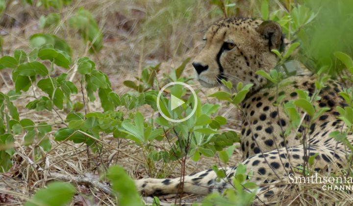 A Cheetah Changes His Hunting Strategy in a Surprising Way