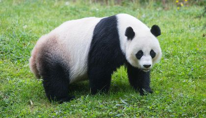 No Panda Cub From the Zoo's Mei Xiang This Year