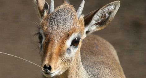 A baby Cavendish's dik-dik at the San Diego Zoo