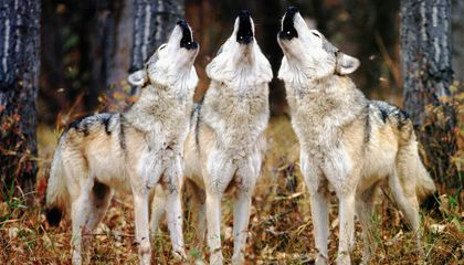 Wolf Hunting Made Illegal Again in Wyoming