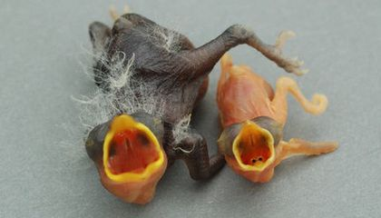 Parasitic Cuckoo Finches Use an Egg Overload to Evade Host Defenses