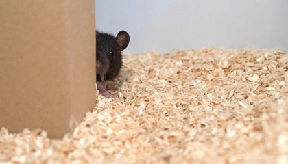 Rats Learned to Play Hide and Seek to Help Study the Brain