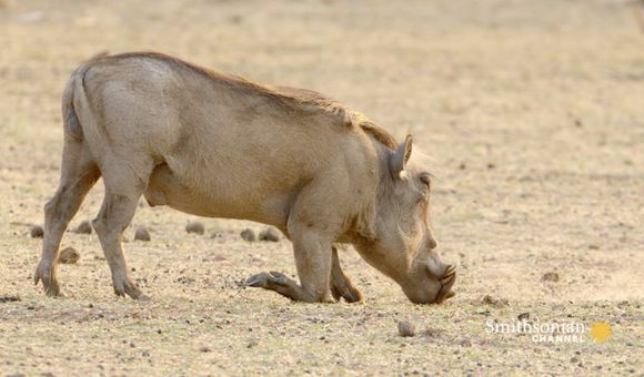 Preview thumbnail for video'Warthogs Have the Tools to Survive in a Drought