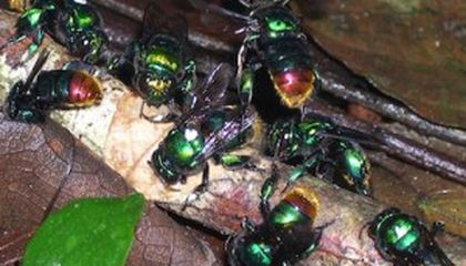 Radio-Tracking Orchid Bees in Panama