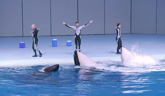 Preview thumbnail for video'Killer Whales Perform at the Moscow Aquarium