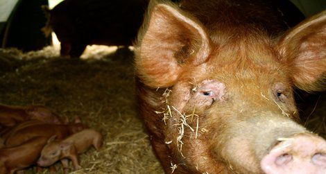 A ginger sow and her piglets at the Ginger Pig's Yorkshire farm.